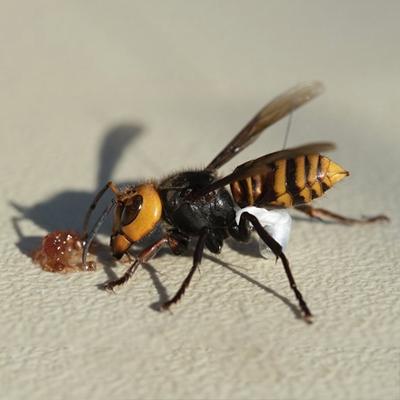 Dịch vụ diệt ong vò vẽ